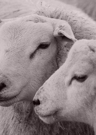 Shetland Sheep The Shetland Wool Story